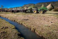 22 DE ABRIL DE 2017, RIDGWAY COLORADO: Ranchero en el rancho centenario, ganado de las alimentaciones con el tractor un rancho de imagen de archivo libre de regalías