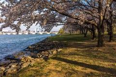 10 DE ABRIL DE 2018 - WASHINGTON D C - E.U. Cherry Blossoms ao ponto de Hains, bacia maré do leste Washington Americano, Haines fotografia de stock