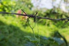 De abstracte aard, klimplant groeit over prikkeldraad Royalty-vrije Stock Fotografie