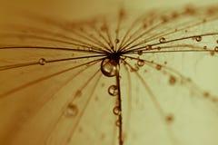 De abstracte achtergrond van de paardebloembloem, extreme close-up. stock afbeelding