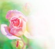 De abstracte roze rozen van de bloembloesem Stock Afbeeldingen