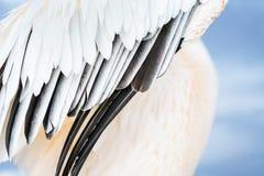 De abstracte vleugel van de close-up grote witte pelikaan Royalty-vrije Stock Foto