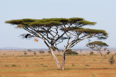 De acacia van Serengeti Royalty-vrije Stock Fotografie