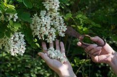 De acaciabloemen van de handenbesnoeiing met roestige schaar stock foto's