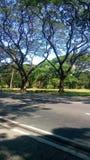 De Acaciabomen royalty-vrije stock foto