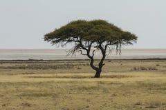 De acaciaboom van de kameeldoorn en de Etosha-Pan Stock Afbeeldingen