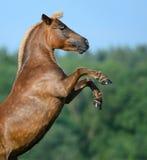 De achter poney van het zuringshoogland Royalty-vrije Stock Foto's