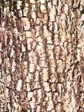De achtergrond/de textuur van de boomschors Royalty-vrije Stock Afbeeldingen