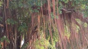 De achtergrond en de wind van de Banyanboom stock videobeelden