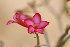 De achtergrond heeft roze bloemen Ontspan gevoel Stock Foto's
