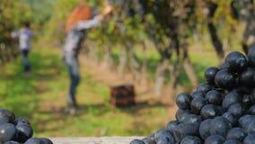 De achtergrond met defocused vrouwen die druiven oogsten stock video