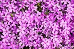De achtergrond met talrijke kleine roze floxsubulata bloeit 03 stock fotografie