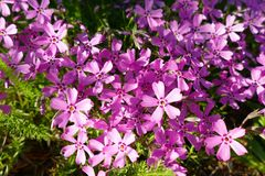 De achtergrond met talrijke kleine roze floxsubulata bloeit 05 royalty-vrije stock afbeelding