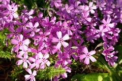 De achtergrond met talrijke kleine roze mosflox bloeit 09 royalty-vrije stock foto