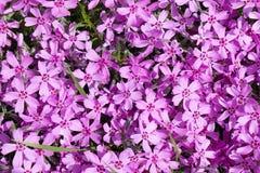 De achtergrond met talrijke kleine roze mosflox bloeit 10 stock afbeelding