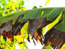 De achtergrond van de aard banaanblad op droog en vernietigd begin Multip stock foto