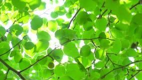 De achtergrond van de aard De zon glanst door het blazen op de groene bladeren van de windboom Vage samenvatting bokeh met zonglo stock video