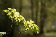 De achtergrond van aardeasters van de jonge de lentebladeren stock afbeelding