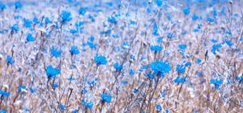 De Achtergrond van de aardzomer met Blauwe Korenbloemen Royalty-vrije Stock Afbeelding