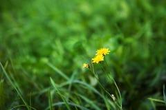 De Achtergrond van de aardzomer met de herfst hawkbit bloemen royalty-vrije stock foto
