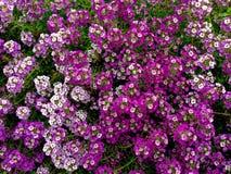 De achtergrond van Alyssumbloemen Royalty-vrije Stock Afbeeldingen