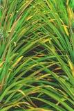 De achtergrond van de ananas stock afbeeldingen