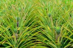 De achtergrond van de ananas royalty-vrije stock afbeeldingen