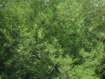 De achtergrond van bamboebladeren Stock Fotografie