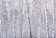 De Achtergrond van berkbomen royalty-vrije stock foto
