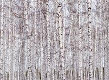 De Achtergrond van berkbomen stock afbeeldingen