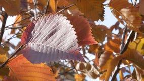 De achtergrond van de de bladerenhemel van de de herfstboom stock footage