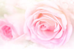 De achtergrond van bloemrozen met zachte roze kleur royalty-vrije stock foto's