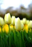 De achtergrond van bloemtulpen Mooie dichte omhooggaand van de gele tulpenv.n. Royalty-vrije Stock Fotografie