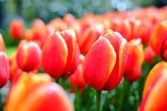 De achtergrond van bloemtulpen Mooie dichte omhooggaand van rode tulpen onder Stock Foto's
