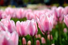 De achtergrond van bloemtulpen Mooie dichte omhooggaand van roze tulpen unde Stock Foto's