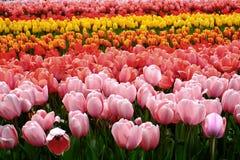De achtergrond van bloemtulpen Mooie kleurrijke tulpen onder sunlig Royalty-vrije Stock Afbeeldingen