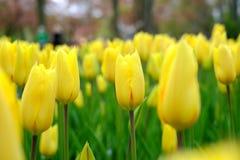 De achtergrond van bloemtulpen Mooie mening van gele tulpen onder Royalty-vrije Stock Afbeeldingen
