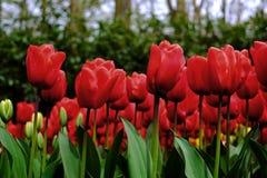 De achtergrond van bloemtulpen Mooie mening van rode tulpen onder zon Stock Afbeeldingen