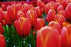 De achtergrond van bloemtulpen Mooie mening van rode tulpen onder zon Royalty-vrije Stock Foto