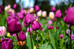De achtergrond van bloemtulpen Mooie mening van roze tulpen onder su Stock Foto's