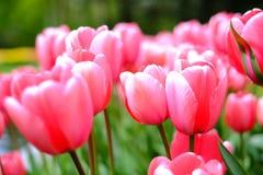 De achtergrond van bloemtulpen Mooie mening van roze tulpen onder su Royalty-vrije Stock Foto