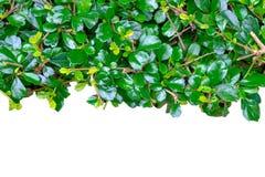 De achtergrond van bomen wordt meer intensief gebruikt om muur te maken Royalty-vrije Stock Foto's