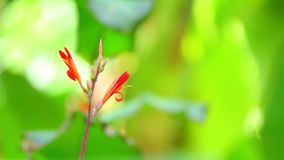 De Achtergrond van Cannalily vibrant red flowers with Bokeh stock footage