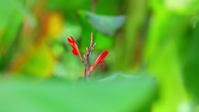 De Achtergrond van Cannalily vibrant red flowers green Bokeh stock footage