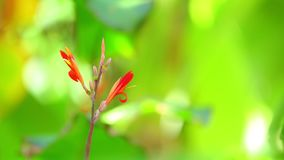 De Achtergrond van Cannalily vibrant red flowers green Bokeh stock video