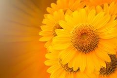 De achtergrond van CG van zonnebloem Stock Foto's