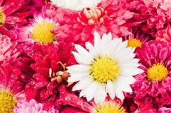 De achtergrond van chrysantenbloemen stock fotografie