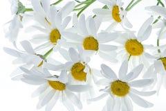 De achtergrond van Daisy Stock Fotografie