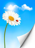 De achtergrond van de aardzomer met madeliefjebloem met lieveheersbeestje Royalty-vrije Stock Afbeeldingen