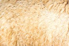 De achtergrond van de alpacawol Stock Foto